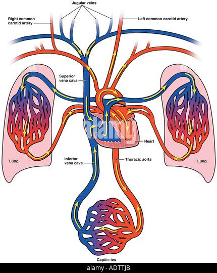 blood vessel diagram stock photos & blood vessel diagram stock, Muscles