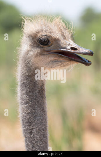 Ostrich in Ostrich Safari Park, Oudsthoorn, South Africa, Africa - Stock Image