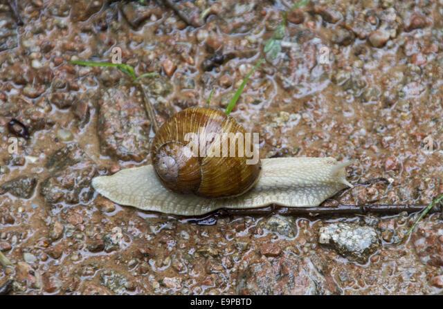 Types Of Edible Snails: Fidgety Fingers: WHICH GARDEN SNAIL