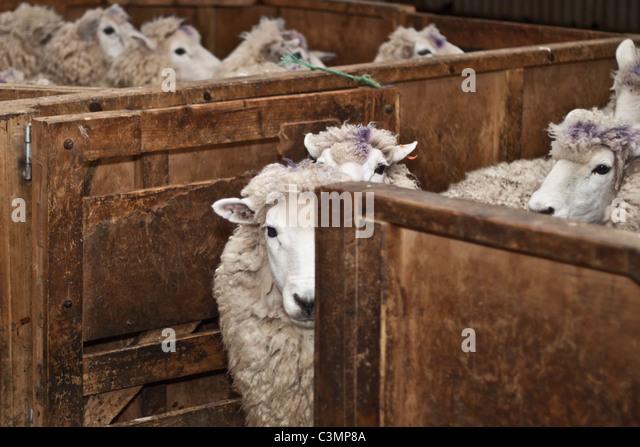 sheep shearing machine