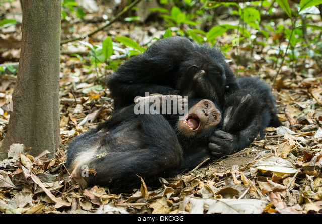 Chimps Playing Stock Photos & Chimps Playing Stock Images ...