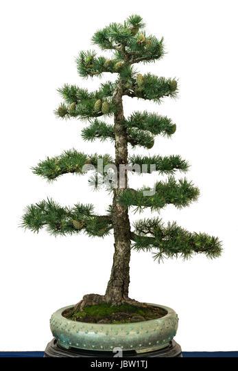 bonsai schale stock photos bonsai schale stock images alamy. Black Bedroom Furniture Sets. Home Design Ideas