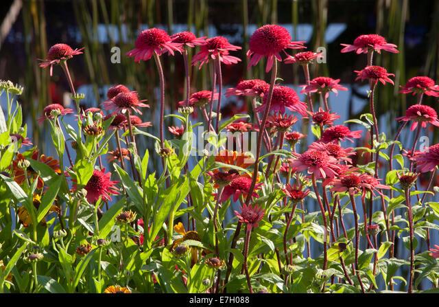 Echinacea hot summer stock photos echinacea hot summer for Pip probert garden designer