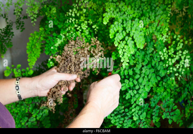 how to fix a dead fern