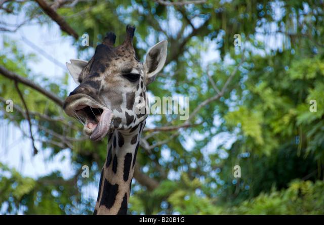 yawning giraffe - photo #9