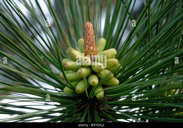 Longleaf pine cones branch stock photos longleaf pine for Long pine cones