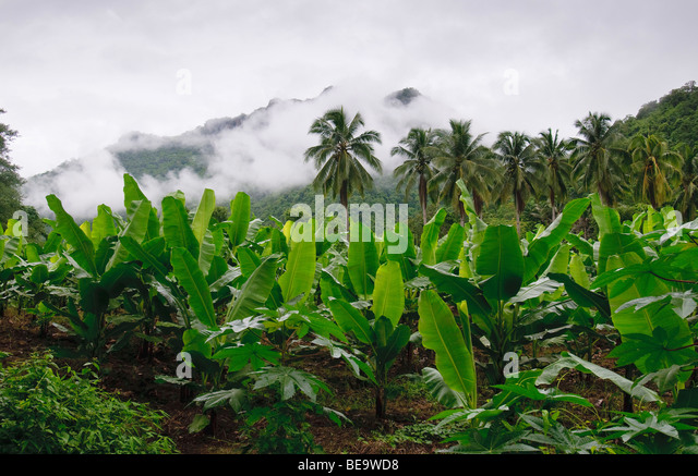 Banana Trees In The Tropical Rainforest