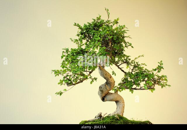 bonsai baum garten, bonsai baum asien garten pflanzen ulme china stock photos & bonsai, Design ideen