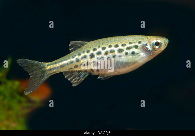 Blackline Rasbora : Gold-Ring Danio (Danio tinwini), swimming - Stock Image