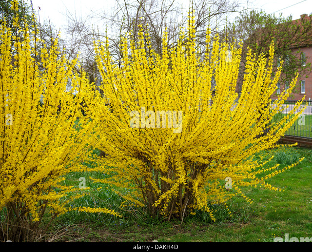Forsythia x intermedia stock photos forsythia x - Forsythia x intermedia ...