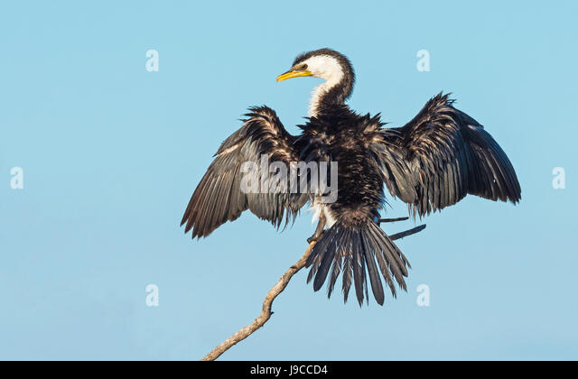 the little pied cormorant little shag or kawaupaka microcarbo melanoleucos is a common