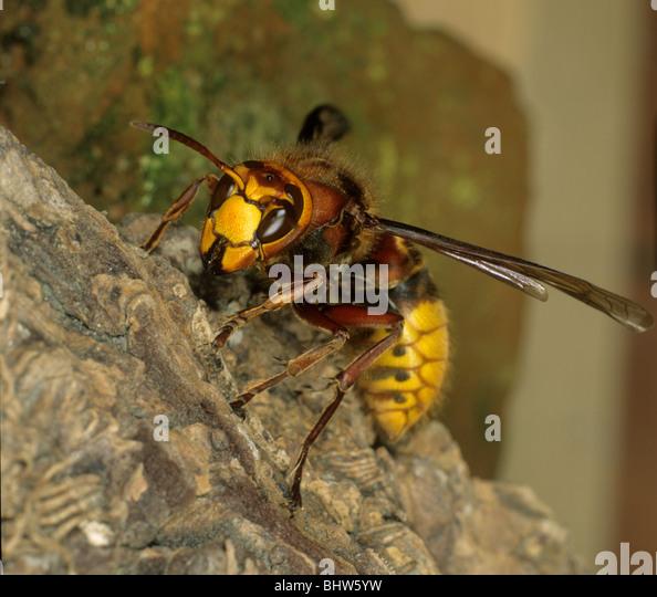 Hornet Stock Photos & Hornet Stock Images - Alamy Queen White Hornet