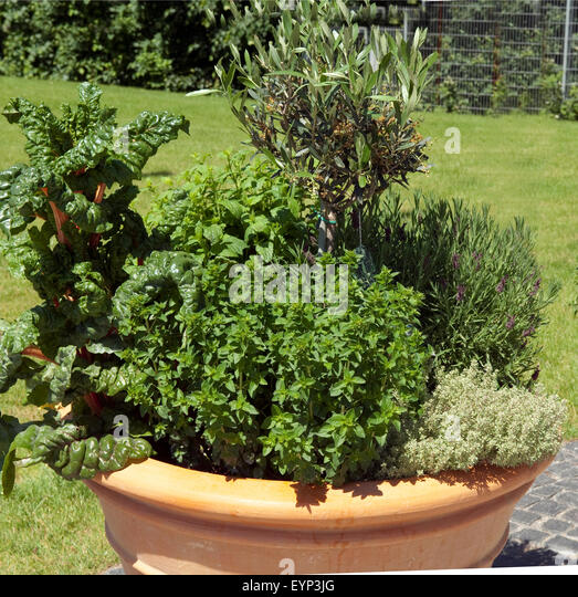 Olive tree pot stock photos olive tree pot stock images for Olive trees in pots winter care