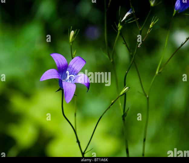 dark blue flowers stock photos amp dark blue flowers stock
