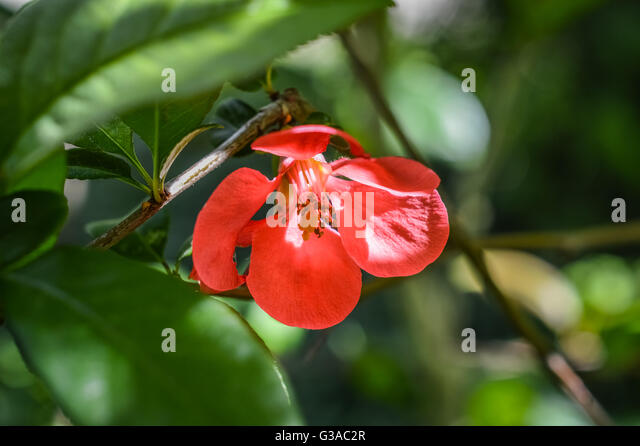 quince flower in leaves close up stock image - Quince Flower