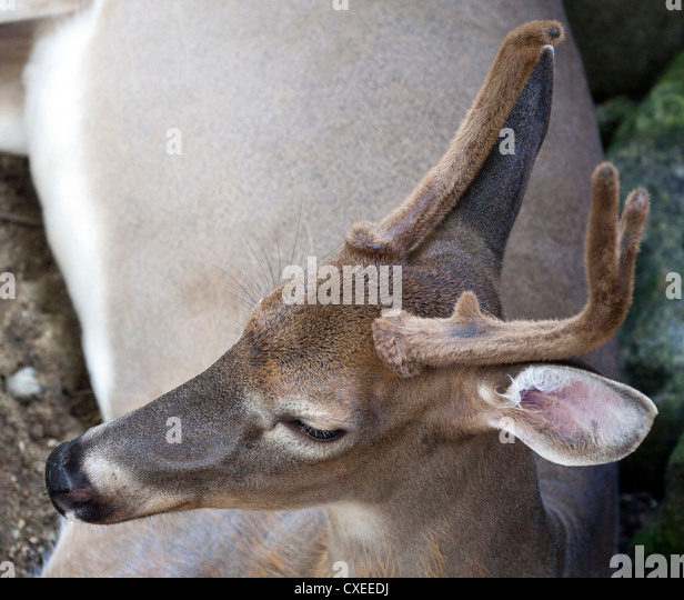 the background of the whitetail deer odocoileus virginianus Royalty free historic stock clipart illustration of a white-tailed deer (odocoileus virginianus) grazing this royalty-free cartoon styled clip art picture is available as a fine art print and poster.