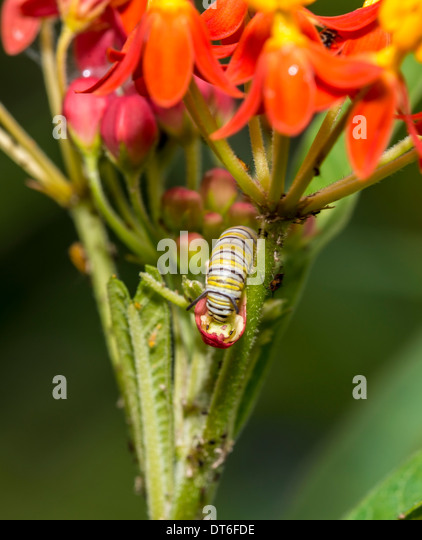 Mexican Milkweed Stock Photos & Mexican Milkweed Stock ...