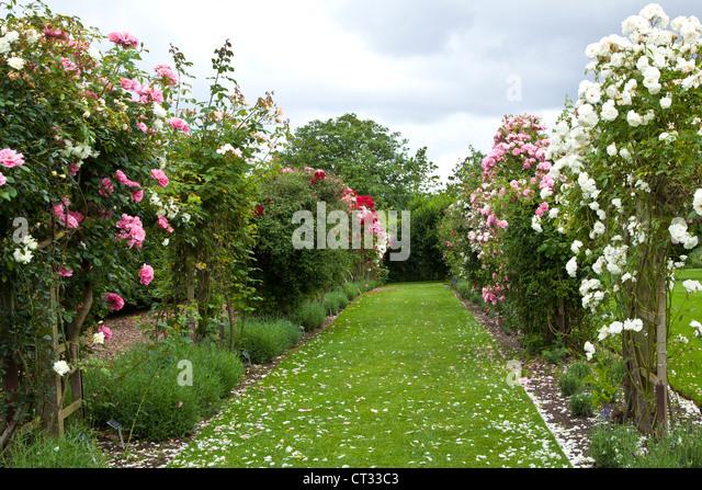 Rose varieties stock photos rose varieties stock images alamy - Rose cultivars garden ...