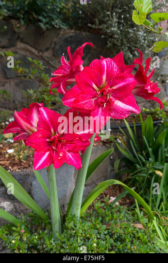 Hippeastrum bulbs stock photos hippeastrum bulbs stock for Amaryllis royal red arrosage