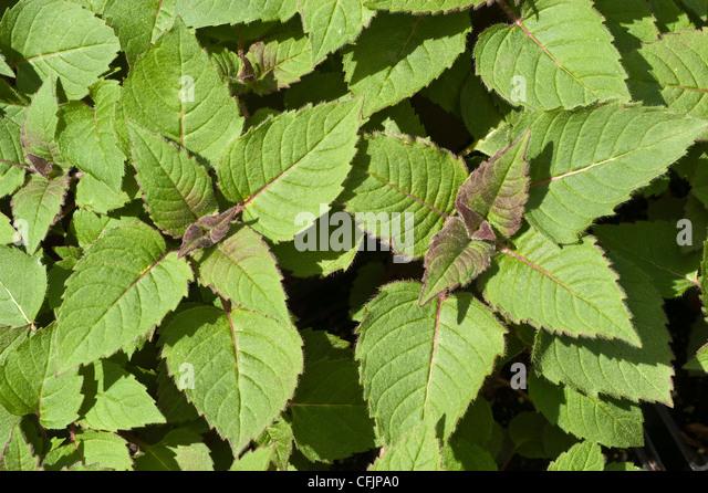 Monarda Bee Balm Stock Photos & Monarda Bee Balm Stock ...