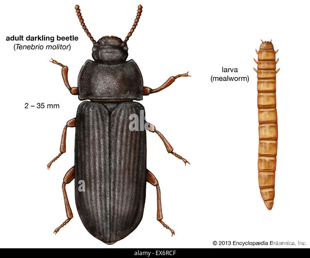 mealworms insect and adult yellow beetle Common names: mealworm, yellow mealworm, yellow mealworm beetle, golden grub  mealworms live in closets and the adult beetles can serve as hosts for.