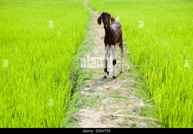 Image result for greeny land, goats are grazed by a wido in white saree in tamil nadu