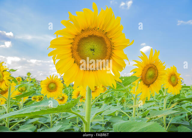 sunflower field picture blooming - photo #27