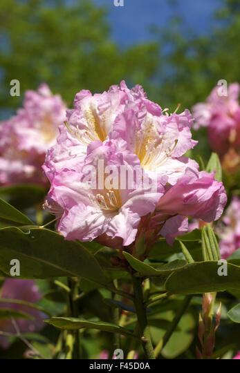 Alpenrosen Stock Photos Amp Alpenrosen Stock Images Alamy