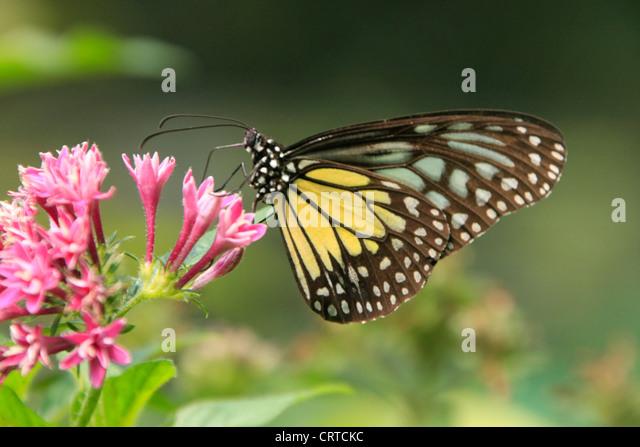 Tìm hiểu Bướm - Page 20 Yellow-glassy-tiger-butterfly-parantica-aspasia-aspasia-on-pink-flowers-crtckc