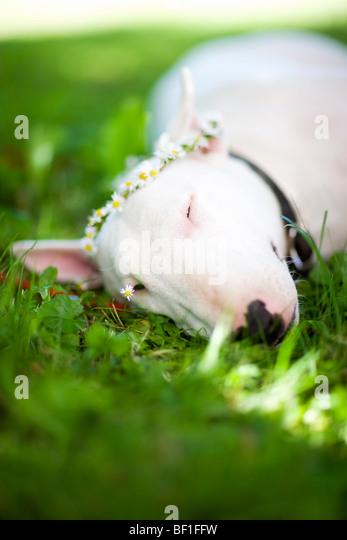 Terriers Grass Stock P...
