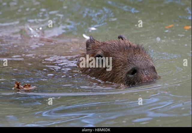 Capybaras Stock Photos & Capybaras Stock Images - Alamy