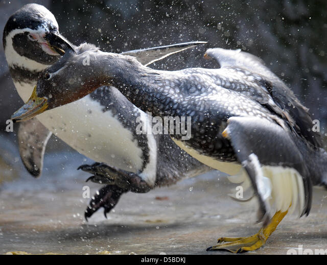 [Image: a-humboldt-penguin-l-and-a-flying-steame...d5bdkj.jpg]