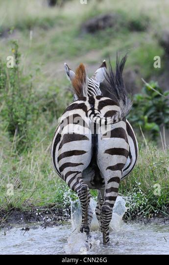 Zebras Running Through Water Zebra Running A...