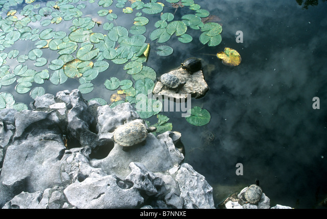 Turtle On Rock In Pond Stock Photos & Turtle On Rock In Pond Stock ...