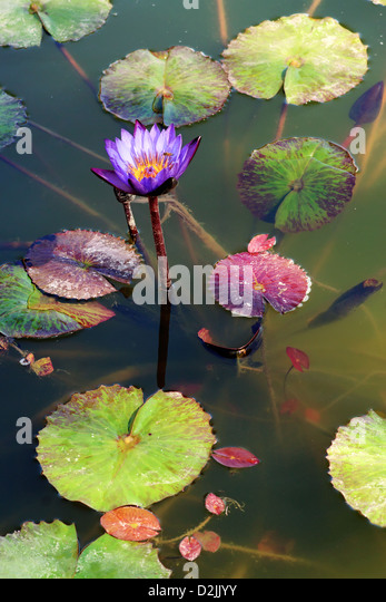Lotus flower habitat choice image flower decoration ideas lotus flower habitat image collections flower decoration ideas flowers leaves habitat aquatic stock photos flowers leaves mightylinksfo Image collections