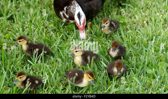 how to take care of a baby muscovy duck