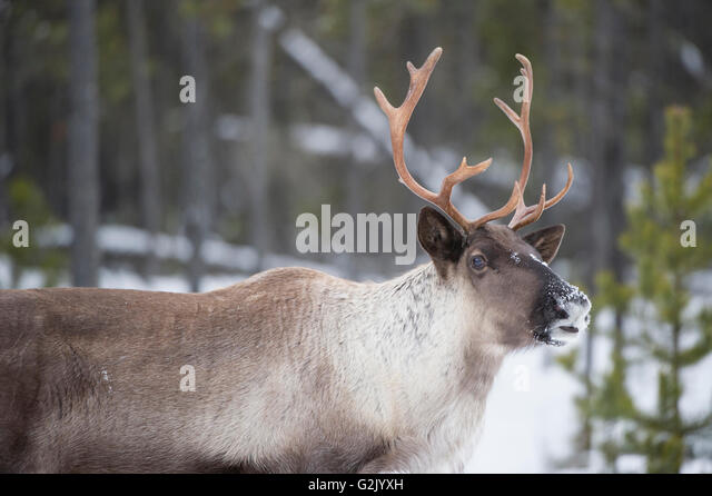 Woodland Caribou Stock Photos & Woodland Caribou Stock ...