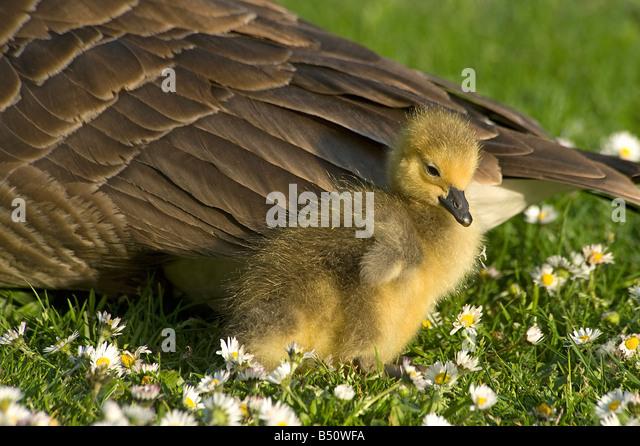 Canada Goose kensington parka outlet store - Canada Goose Stock Photos & Canada Goose Stock Images - Alamy