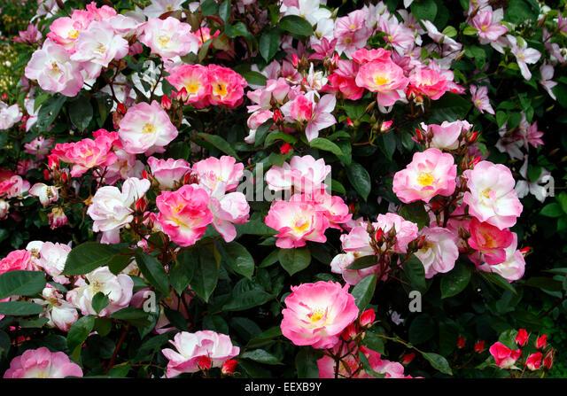Clematis Clematis Rose Rosa Stock Photos & Clematis