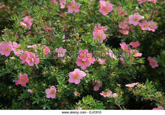 Potentilla Fruticosa Pink Beauty Stock Photos Potentilla