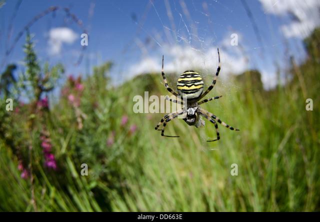 Spider Feeding Stock Photos &amp- Spider Feeding Stock Images - Alamy