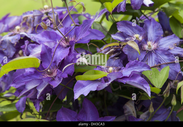 clematis the president pflege