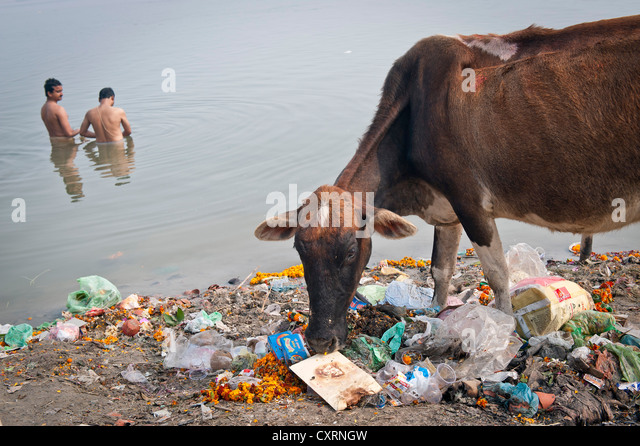 Two men bathing whilst a holy cow is eating from garbage banks of the