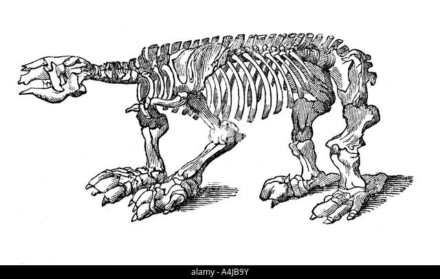 skeleton of megatherium extinct giant ground sloth 1833 stock image