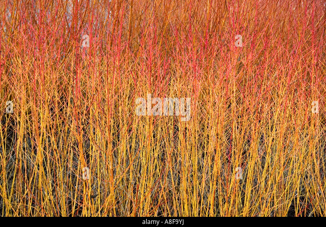 CORNUS SANGUINEA MAGIC FLAME BROADVIEW GARDENS HADLOW COLLEGE KENT   Stock  Image