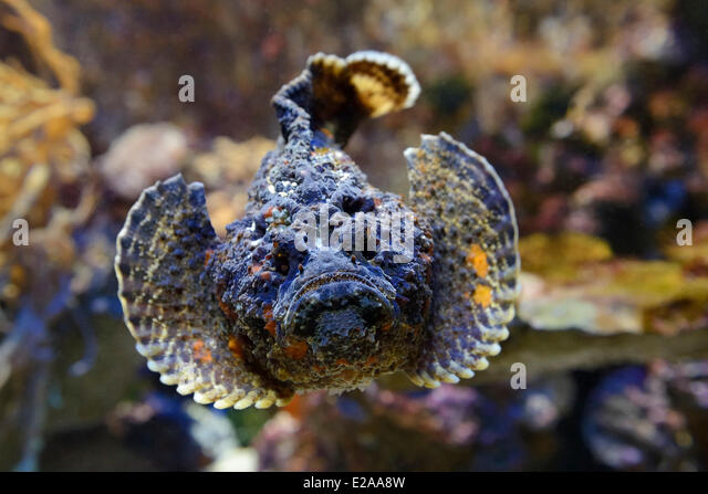 Reef stonefish stock photos reef stonefish stock images for Stone fish facts