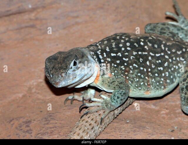 Oklahoma Collared Lizard Crotaphytus Collaris Stock Photos ...