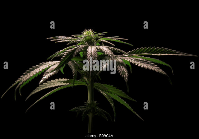 the controversial issues of cannabis sativa or marijuana Indica vs sativa home / resources / indica vs sativa  if you're using marijuana medically, cannabis sativa is a suitable choice for daytime use if you suffer from depression, mood disorders, add or fatigue  sativa is often used to treat behavioral and mental issues such as adhd and depression.
