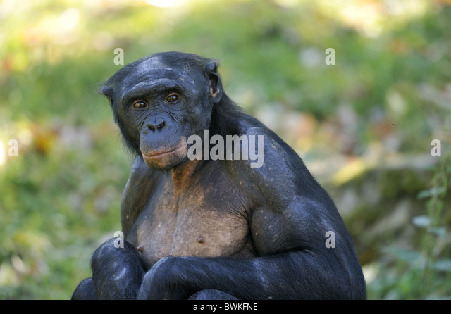 Bonobos pigmy chimps