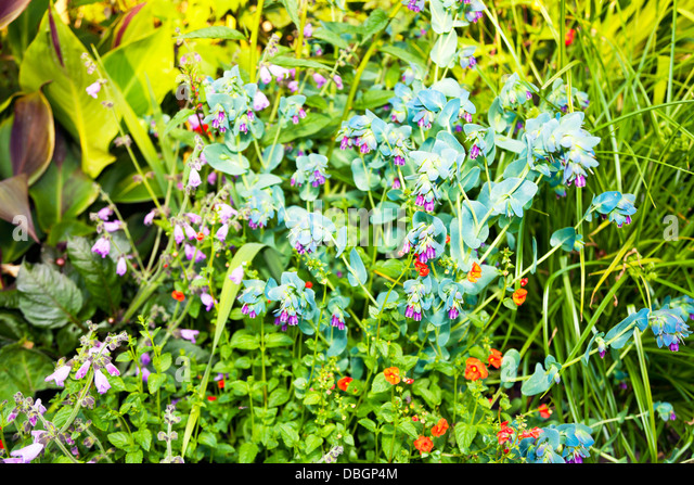 Purpurescens stock photos purpurescens stock images alamy for Typical landscaping plants